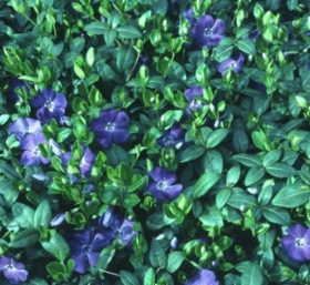vinca_minor.jpg&width=280&height=500