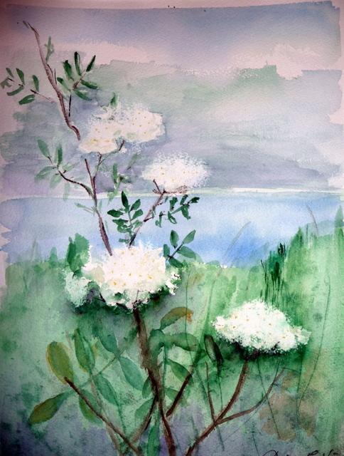 Pihlaja kukkii