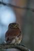 Varpuspöllö