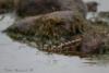 Jänkäsirriäinen