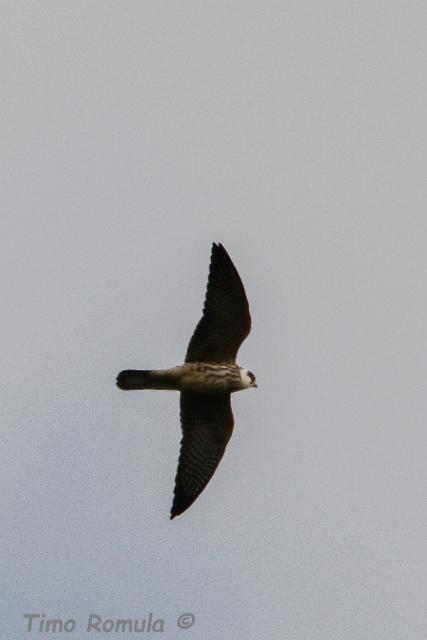 Punajalkahaukka