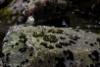Virtavästäräkki