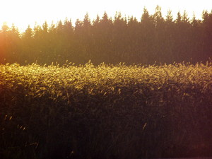 golden_field_of_sahala.jpg