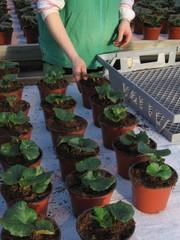 ruusubegoniat istutettuna kasvupöydälle