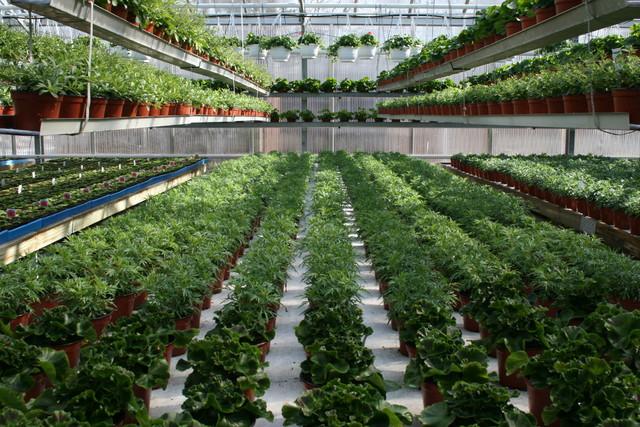 Pelargoniaa ja markettaa
