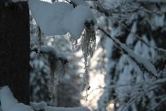 Tontun partaa talvisessa metsässä