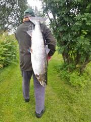 Tekijä ite. Lohi Torionjoelta 29.7.13. Viehe taas se niskalenkki seitsenväri Koski-Seniori. Niin ja paino 12.5 kg.