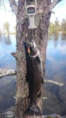 Teemu Wäre kävi Inarinjärvellä taimenta uistelemassa. Tämän 3,45kg kalan pään menoksi koitui 60mm Kouru-Seniori.