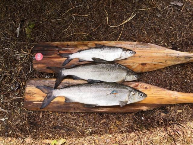 Sama mies (Sami Mustonen), sama järvi. Alimman siian päällä Seniori, joka nämä kalat petti. (2019)