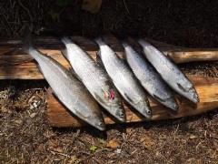 Samin toinen reissu samaiselle järvelle tuotti nämä 5 siikaa. Kuvassa Seniorit, joihin siiat erehtyi. (2019)