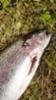 Jukka tilasi viikko sitten mini-senioreita ja lähti kalaan.Eka heitto tai virtaanlasku ja kirre kiinni.