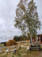 a6 viimeinen puu vielä_26.10.2021