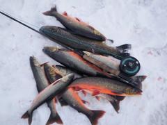 Sumari kaloja tundralta