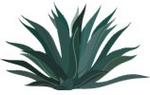 agave150px.jpg