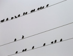 birds-on-electric-wires-3744908__340