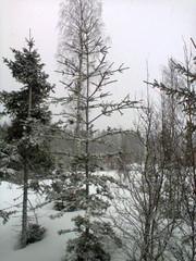 sikermakuusi_pyhajoki