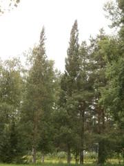 Pilarimänty (Pinus sylvestris `Northern spike´)