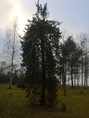 Pinus sylvestris Pohto