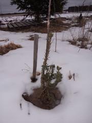 Picea abies f.virgata viminalis `Ahonperä´