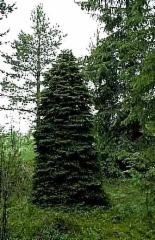 Picea_abies_Korven_kaunein