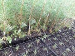 Kultamännyn kesävartteita ja sembran siementaimia