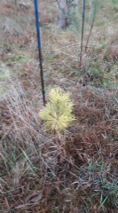 pinus_sylvestris_woltingss_gold