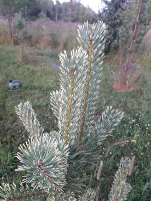 Pinus sylvestris `ødegård´