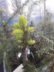picea_abies_aurea_vartettuna_kasvihuoneessa