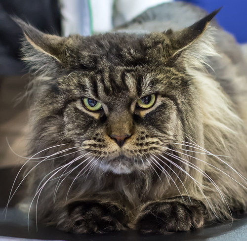 Maine Coon Luonne