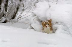 Pää lumipensaasta