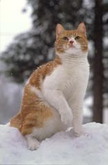 lumikasan kuningas