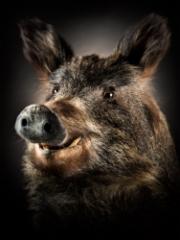 wild_boar_60x45cm