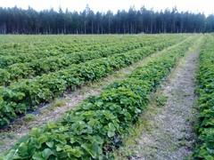 Mansikkapelto