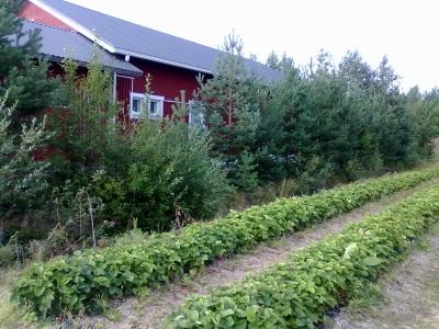Mansikkapelto ja pakastamo