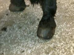 Erittäin huonosti kengitetty, kaviot täysin väärän malliset.