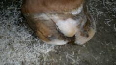 kavion kantaosa painunut halkeamasta varvasosan alle.