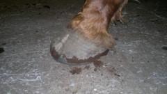 väärin kengitetty, romahtanut kantaosa, varvasakseli murtunut.