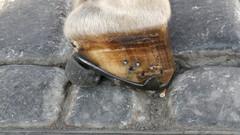 keski-euroopasta bongattu valjakkohevosen kenkä.