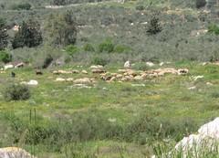 18.3.13 Lammaslauma Tiberiaksen lähistöllä