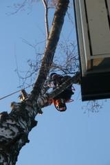 Toisinaan pihapuut ovat aivan talon räystäissä kiinni ja poistaminen vaatii taitoa
