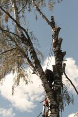 Niin se oksisto vähenee isostakin puusta