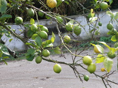 Sitruuna, jokaisessa pihassa