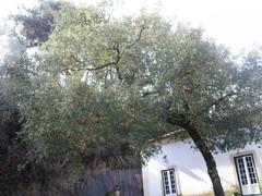 Oliveira, oliivipuu