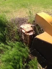 Jyrsintää Puumalassa muurahaispesän juurella