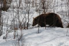 kevainen_karhu