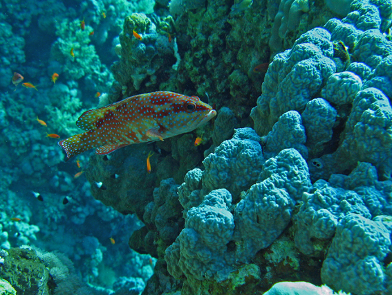 grouper marsa a