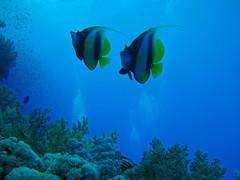 kaksi bannerfish