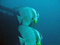 batfish pari