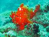 kopio frogfish 1