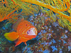 coralgrouper1